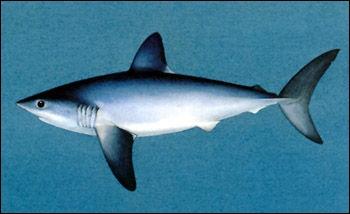 C'est le nom usuel de certains requins comestibles. C'est aussi celui d'une pelle en bois utilisée pour la manipulation des fécules. Dans ce mot avant  ouille  il y a un :