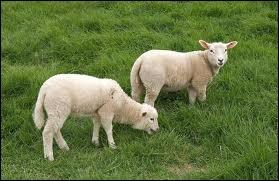 Comment dit-on 'mouton' en anglais ?