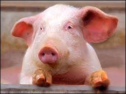 Comment dit-on en anglais : cochon ?