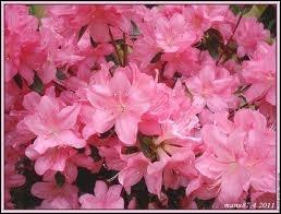 Ces fleurs sont des :
