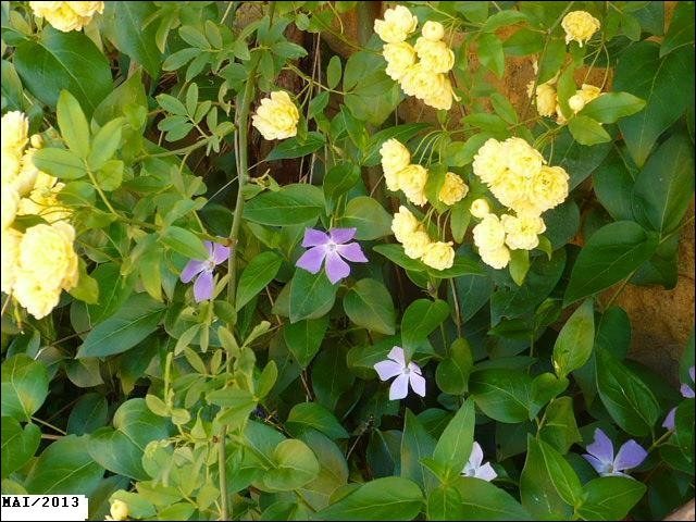 Quelles sont ces fleurs bleues ?
