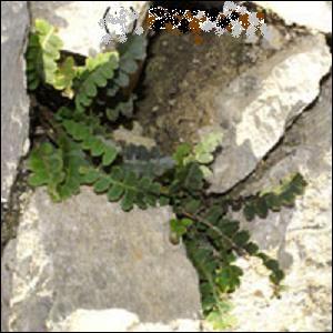 Cette plante se trouve dans des endroits chauds et secs. Les feuilles de la doradille sont découpées en lobes ; elles ont le dessous couvert d'écailles dorées ou marron. Quelle est-elle ?
