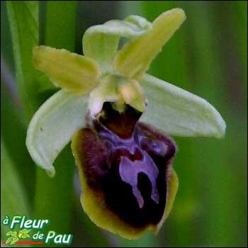 La fleur ovale est encadrée de deux bosses échancrées à l'extrémité, d'un brun pourpre velouté devenant jaunâtre avec le temps. Des motifs symétriques en forme de H, l'embellissent.
