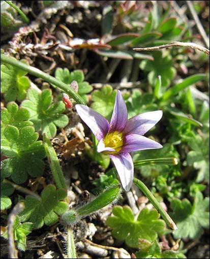 C'est une magnifique fleur, bleue, à la gorge pourpre, bien caractérisée par ses étamines jaunes. Plante semblant très rare et en forte régression.