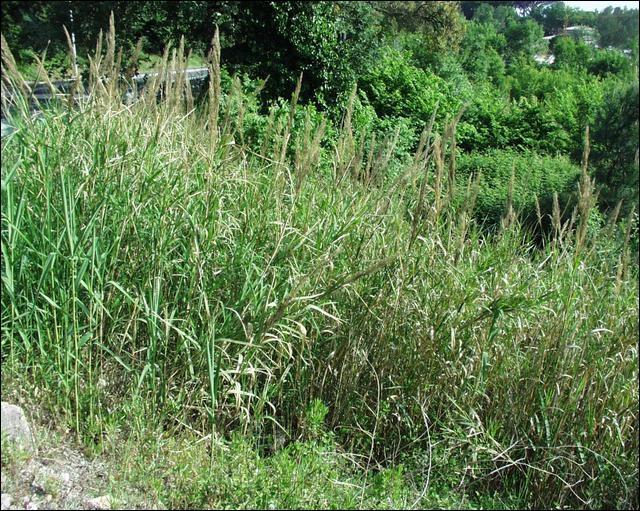 L'espèce est endémique et protégée à Fréjus : la Canne de Pline. On peut la retrouver dans le quartier du Valescure, le long des cours d'eau. Quelle est-elle ?