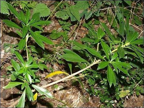 Elle est de la famille des thyméléacées et d'origine européenne. Elle porte le nom botanique de  Daphne laureola . On l'appelle aussi  bois gentil .