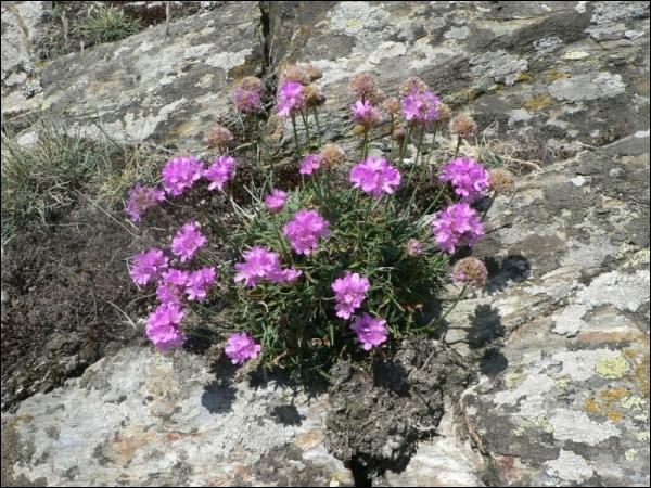 Les arméries sont vivaces. Ces plantes sont rustiques et tapissantes avec une longue floraison. Comment les appelle-t-on ?