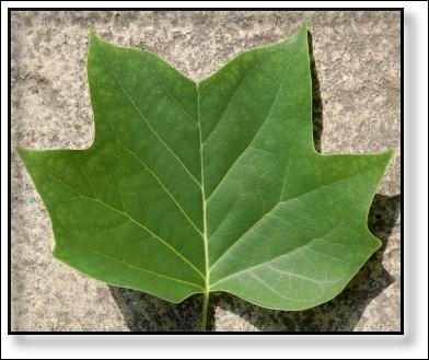 Quizz quelles sont ces feuilles d 39 arbres quiz arbres for Amaryllis ne fait que des feuilles