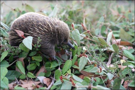 Je ne vous parlerai pas de la particularité de ce bébé animal insectivore , qu'il partage avec un autre animal australien, mais si vous ne faites pas trop l'oeuf, vous allez trouver ...
