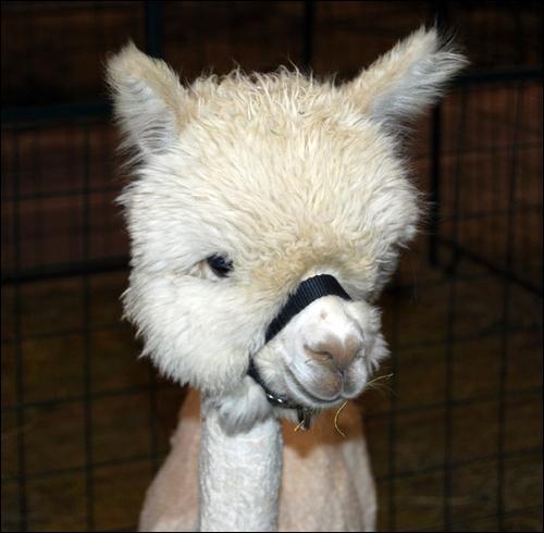Dans le monde, sa laine est très prisée !