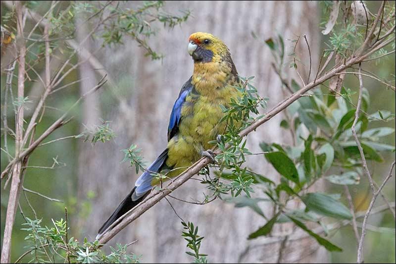 Où pouvez-vous voir la perruche à ventre jaune  Platycercus caledonicus  ?