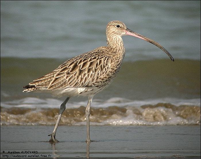 Reconnaissez-vous cet oiseau limicole ?