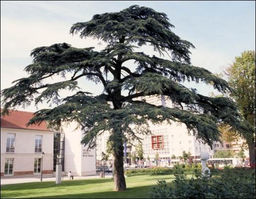 Comment s'appelle cet arbre magnifique, dont on faisait des plafonds et des meubles en Egypte ancienne ? On l'importait pour cela de notre Liban actuel.