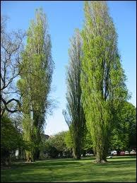 Quel est cet arbre, dit coupe-vent, en forme caractéristique de fuseau ?