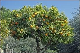 D'après Bourvil, on ne verra jamais cet arbre fruitier sur le sol irlandais. Quel est son nom ?