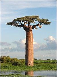 Comment s'appelle cet arbre, l'un des plus grands du monde ?