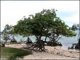 Cet arbre, qui pousse à moité dans l'eau, possède un nom assez compliqué, sur lequel on a même fait une chanson dans une opérette. Quel est ce nom ?