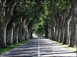 Comment s'appelle cet arbre, que Napoléon III fit planter en grand nombre au bord des routes pour le confort des soldats ?