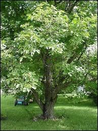 Cet arbre fruitier est très peu enraciné et il faut éviter, dit-on, de dormir dessous. Quel est son nom ?