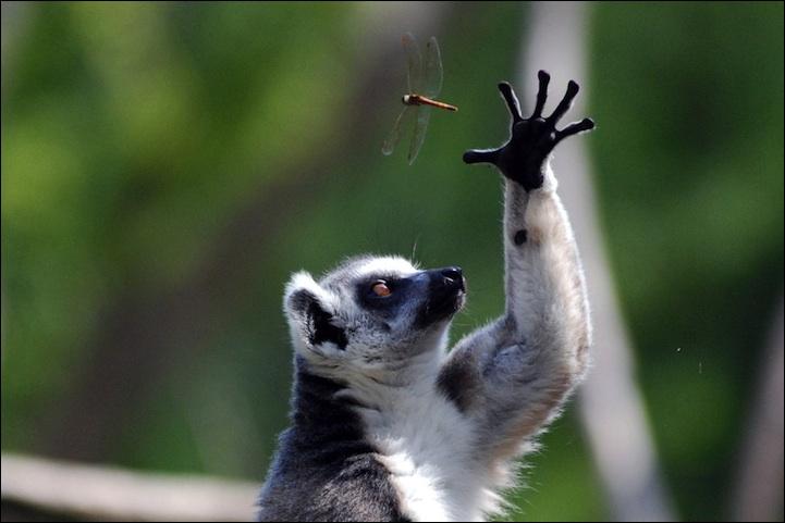 On trouve les lémuriens sur l'île de Madagascar !
