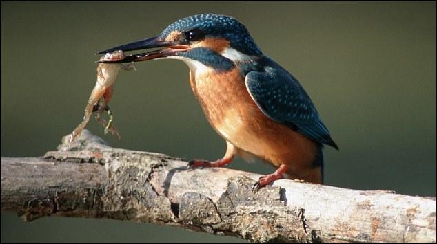Il aime les poissons ... et les grenouilles, c'est le martin-pêcheur !