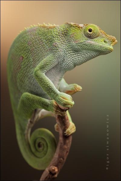 Il peut changer de couleur, c'est l'iguane vert !