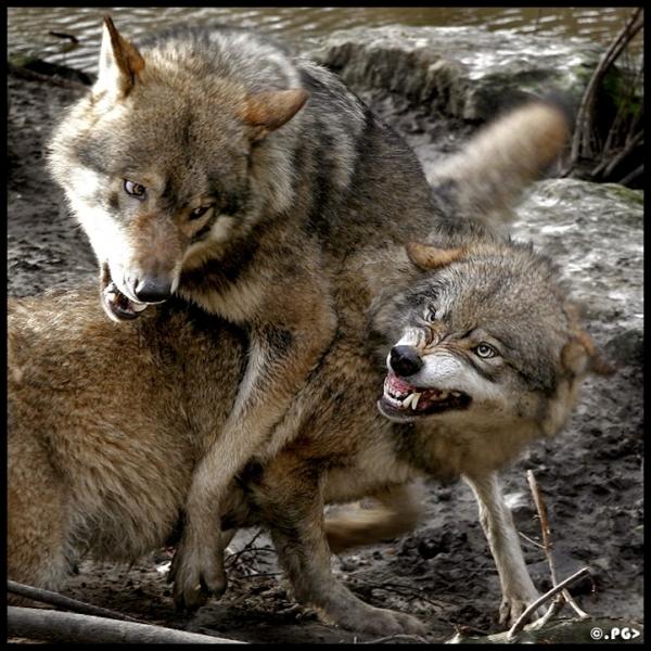 Mais sur celle-ci, prise dans le parc Yellowstone, je vous affirme que ce sont des chacals !
