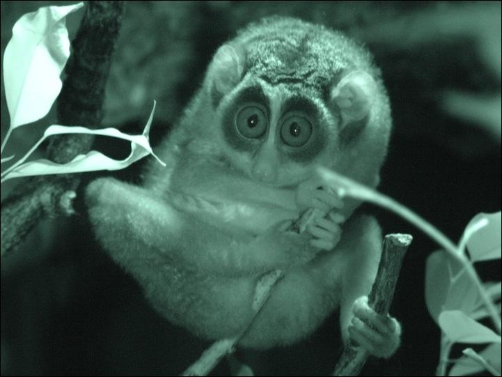 Impossible de vous tromper, il vit à Madagascar, il s'agit du aye-aye !