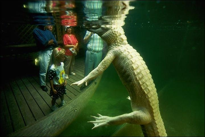 L'alligator peut être albinos, comme sur la photo !