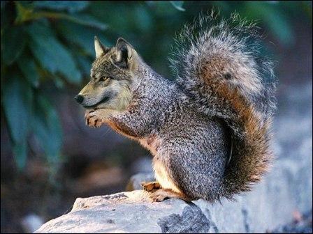 Ce fut loin d'être facile, Canis lupus n'est pas très doué pour grimper aux arbres !