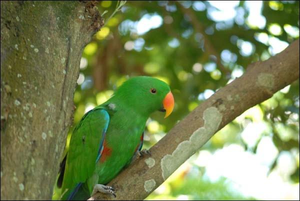 Cet oiseau vert est :