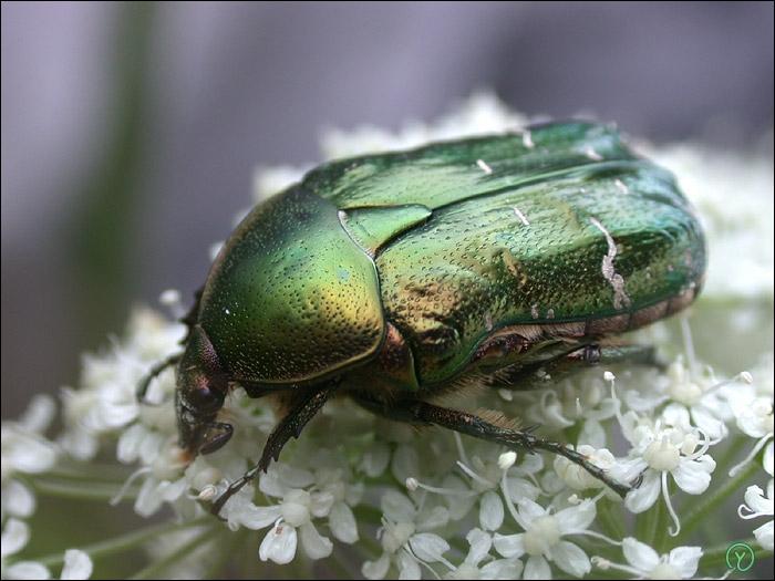 Cet insecte qui ressemble à un bijou est :