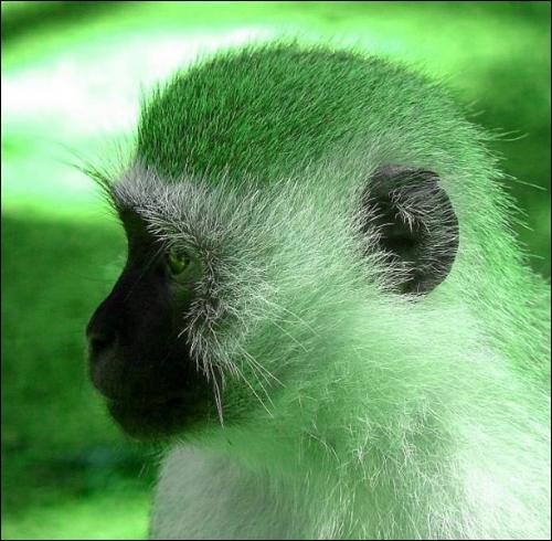 Voici le singe vert d'Afrique, il fait l'objet de toutes les attentions. Pourquoi ?