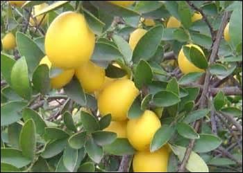 quizz ne17 quelques savoureux fruits jaunes quiz nature fruits jardins. Black Bedroom Furniture Sets. Home Design Ideas