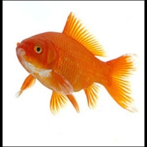 Comment dit-on  poisson rouge  en anglais ?