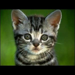 Comment dit-on  chat  en anglais ?