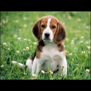 Comment dit-on  chien  en anglais ?