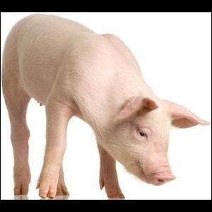 Comment dit-on  cochon  en anglais ?