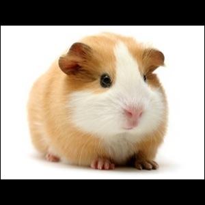 Comment dit-on  cochon d'Inde  en anglais ?