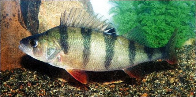 Quel est ce joli poisson à rayures ?