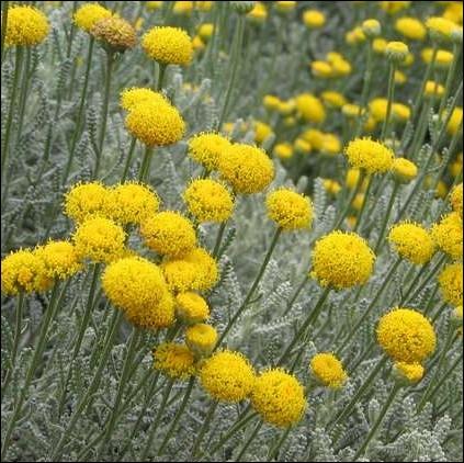 Quizz quelques plantes fleuries faciles quiz plantes for Plante jaune
