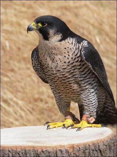 L'oiseau le plus rapide du monde est :