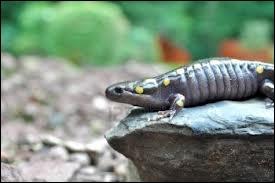 La salamandre géante mesure :