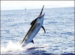 Le marlin bleu se déplace jusqu'à :