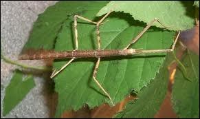 L'insecte le plus grand est :