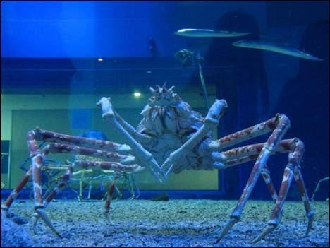 Le plus grand crustacé est :