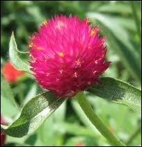 Quelle est cette variété de fleur ?