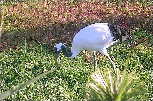 Quel oiseau en voie de disparition, grâce aux mesures de protection et aussi à l'élevage et au nourrissage, a été sauvé à Hokkaïdo ?