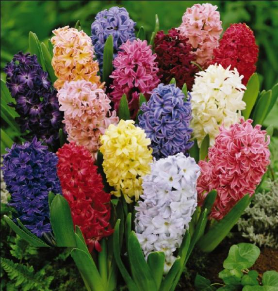 La jacinthe, fleur éphémère de toutes saisons, doit son nom à la mythologie. A quelle figure fait-elle référence ?