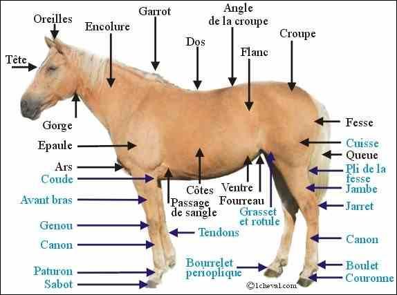 Combien de vertèbres (dorsales) soutiennent ses côtes ?